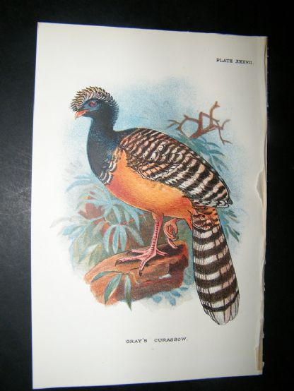 Allen 1890's Antique Bird Print. Gray's Curassow | Albion Prints